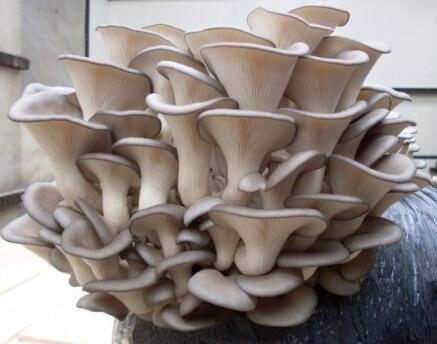 Фото: гриб вешенка