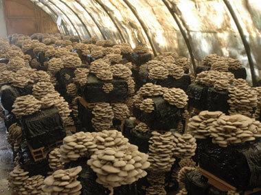 Выращивание грибов в подвале: основные правила 21